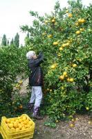 Obirali smo mandarine